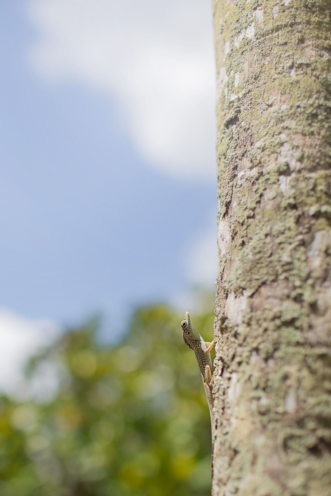 Lizard in Grand Cayman