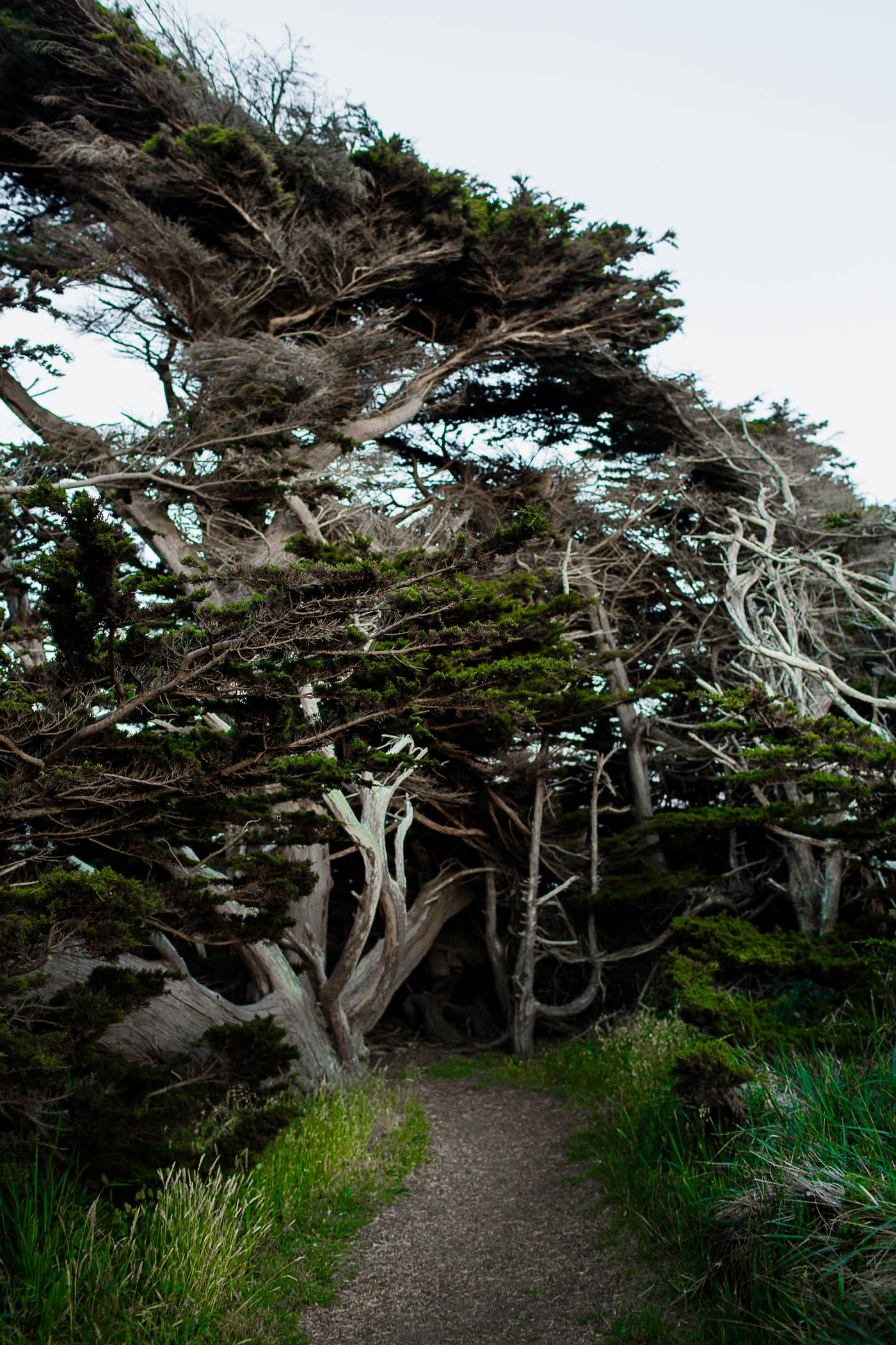 Cypress Tree Tunnel in Sea Ranch, California